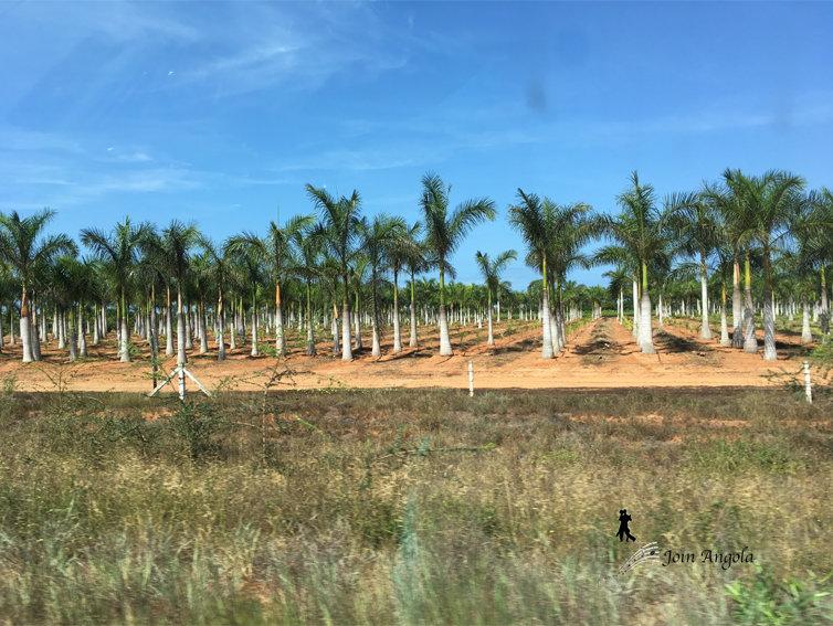 Ornamental palms just before the Barra do Kwanza, outside Luanda.