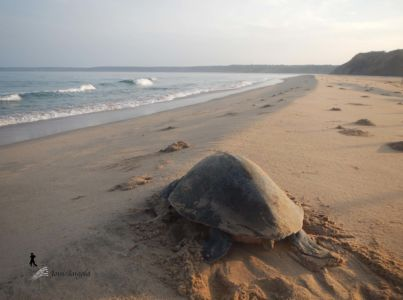 A turtle in Cabo Ledo. As in many parts of the world, the species is in danger.