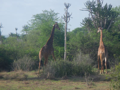 Two giraffes from the Quissama National Park.