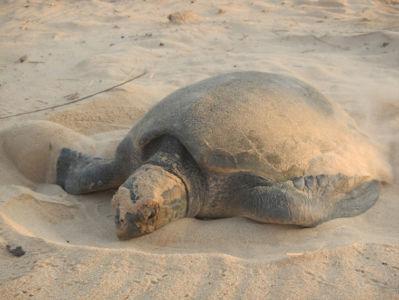 A beautiful turtle on Cabo Ledo beach.