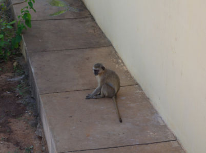 Monkeys are very common in many parts of Angola, even in urban areas, as they like to get into humans' gardens and pick their fruits.