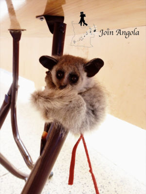 Evovo is a type of Galagos (often called bush babies), recently discovered in the Kumbira forest and already facing the risk of extinction.